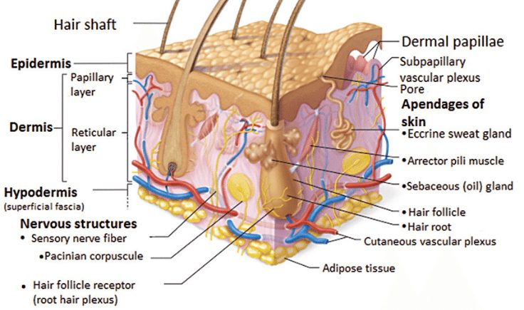 the structure of the scalp and how it relates to scalp massage hair loss